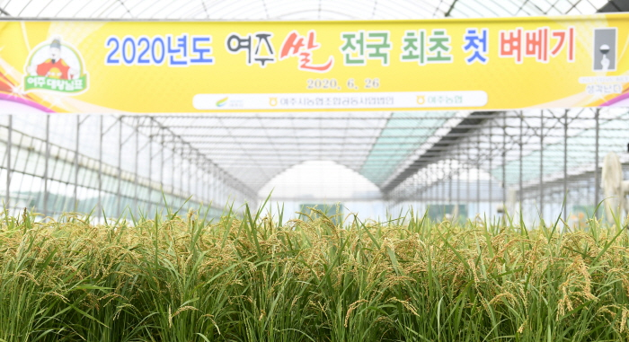 여주시, '최고 밥맛 여주쌀, 벼 베기도 빨라요' (2).JPG